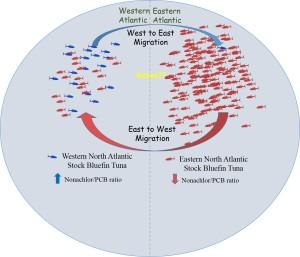 Tuna migration diagram
